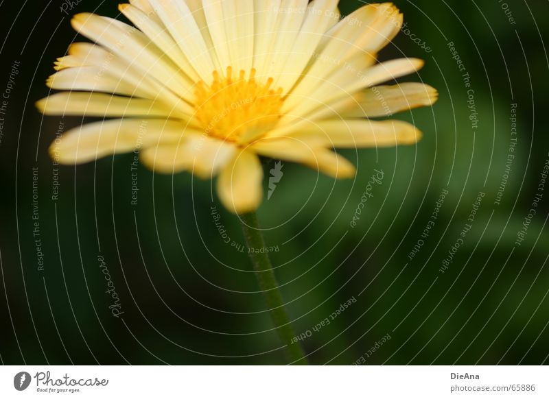 Nature Green Plant Flower Yellow Garden Soft Delicate Stalk Marigold