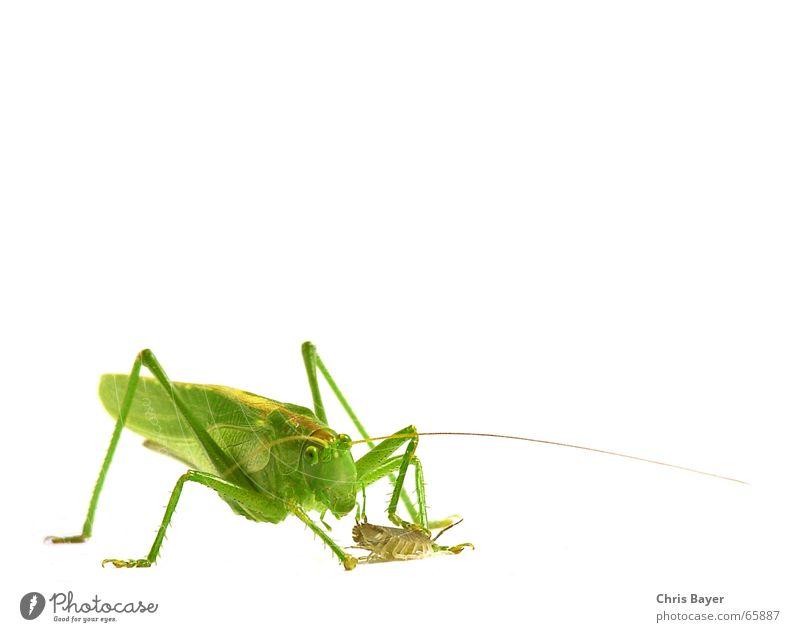 Insect Hunting Locust Dryland grasshopper Isopod Great green bushcricket Pill bug
