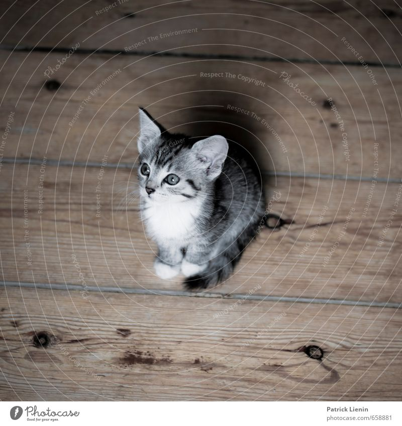 Cat Beautiful Animal Baby animal Funny Exceptional Moody Contentment Cute Uniqueness Ground Joie de vivre (Vitality) Curiosity Pet Wooden board Brash