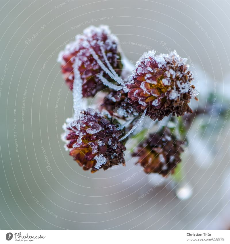 Winter frost II Environment Nature Ice Frost Snow Flower Blossom Foliage plant Pot plant Crystal Water Dream Faded To dry up Fresh Natural Beautiful Wild Gold