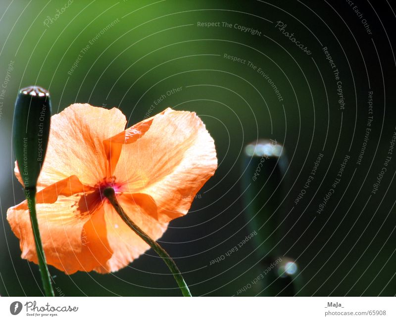Nature Flower Green Plant Meadow Garden Orange Poppy