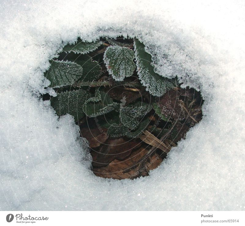 Green Plant Cold Snow Spring Ice Background picture Frost Strawberry