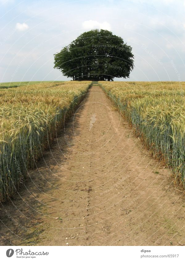 Tree Summer Lanes & trails Field Target Footpath Cornfield Vanishing point Right ahead Margin of a field Building line