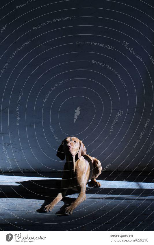 Dog Blue Animal Dark Brown Lie Room Contentment Wait Curiosity Trust Pet Endurance Obedient Obey