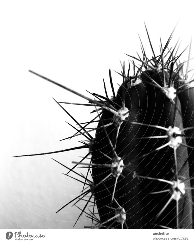 A thorn in the eye Cactus Black White Gray scale value Monochrome Macro (Extreme close-up) Black & white photo Desert greyscale Thorn barbed spike spikes barbs