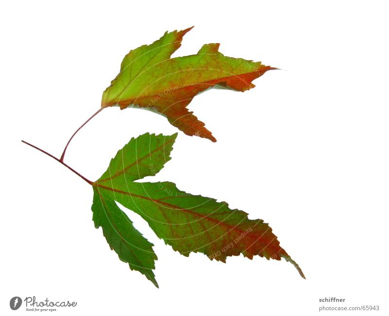 Old Red Leaf Yellow Autumn Together End Row Seasons Matrimony Autumn leaves Autumnal Indian Summer Bright Colours