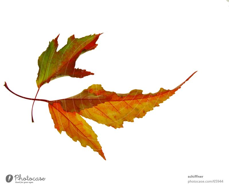 Red Leaf Yellow Autumn Together In pairs Row Autumn leaves Autumnal Autumnal colours Indian Summer Bright Colours