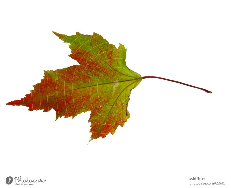 Autumn foliage V Multicoloured Isolated Image Leaf Together Yellow Red Indian Summer Row Autumnal Loneliness Autumn leaves Colouring Green Stalk Individual
