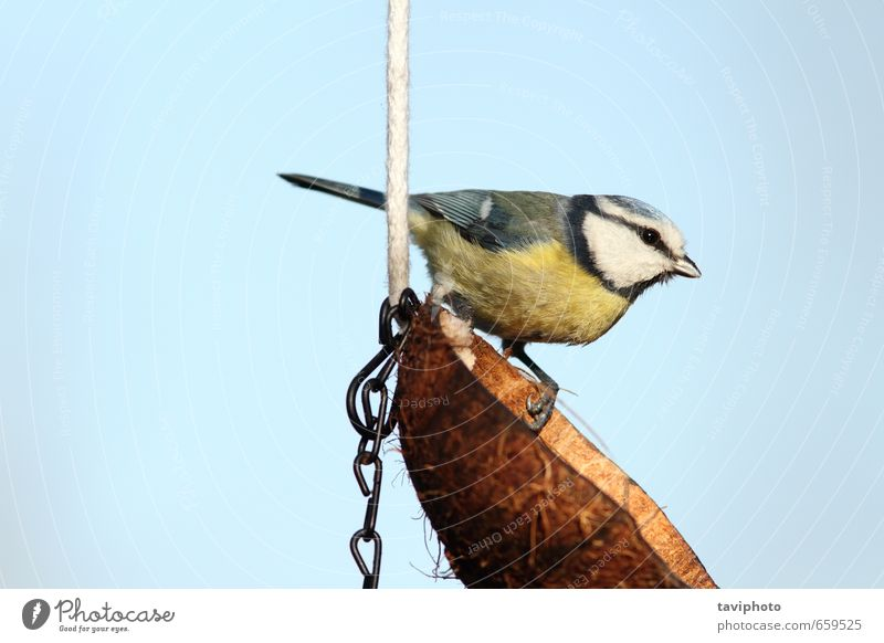 blue tit on a lard feeder Sky Nature Blue Beautiful White Colour Animal Winter Yellow Small Garden Bird Wild Cute Feather European