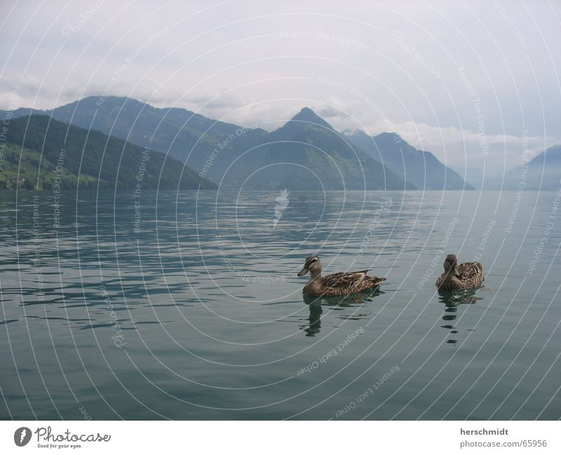 romantic ducks Lake Clouds Bad weather Reflection Switzerland Lake Lucerne Romance Air Duck Water Mountain Love