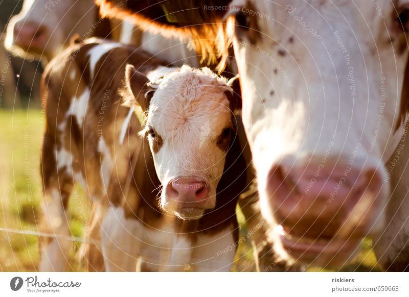 big mama watching you !! Nature Spring Summer Autumn Beautiful weather Meadow Field Animal Farm animal Cow 2 Baby animal Animal family Observe Looking