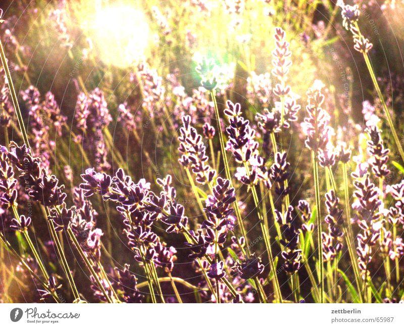 Sun Joy Garden Peace Lavender Medicinal plant Jasmine Oleander