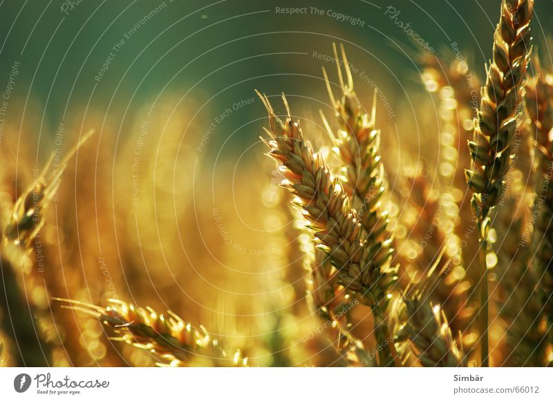 Corn of Wheat II Plant Nature Summer Physics cereal grain wheat Detail plantlife field farming agriculture argricultural natural barley blue clear color colour