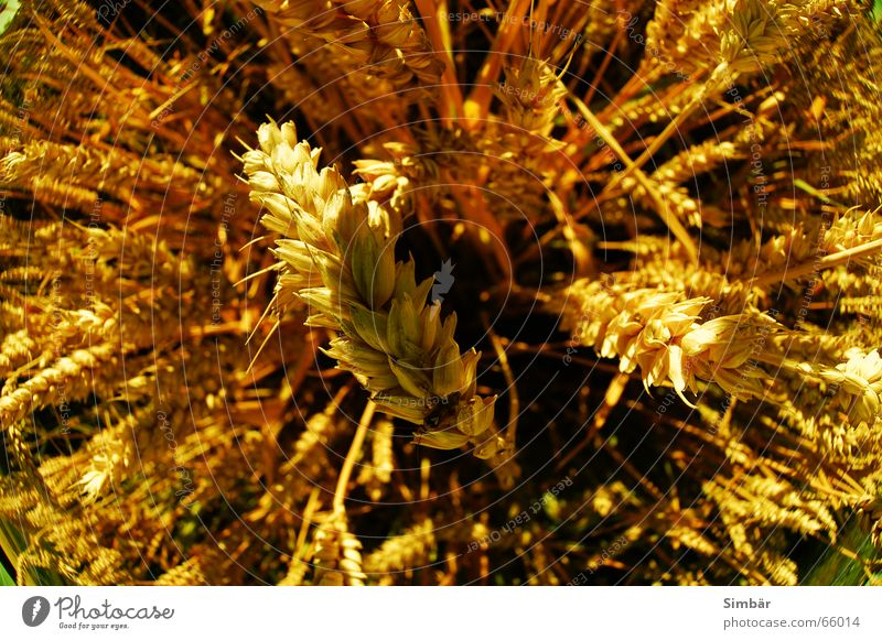 Corn of Wheat IIIO Plant Nature Summer Physics cereal grain wheat Detail plantlife field farming agriculture argricultural natural barley blue clear color