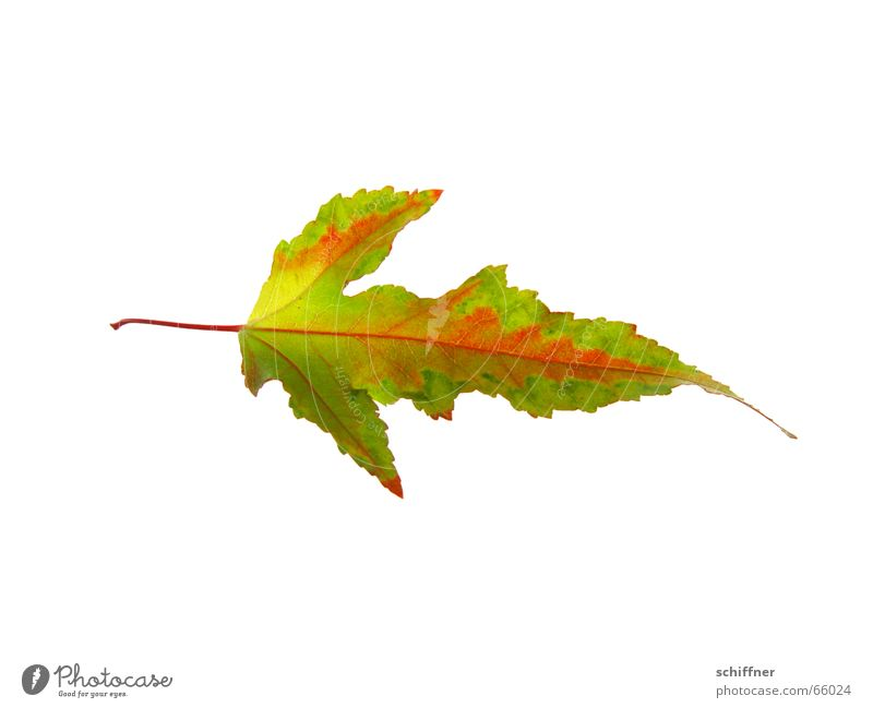 Beautiful Red Leaf Loneliness Yellow Autumn Stalk Row Individual Autumn leaves Colouring Autumnal Indian Summer Bright Colours