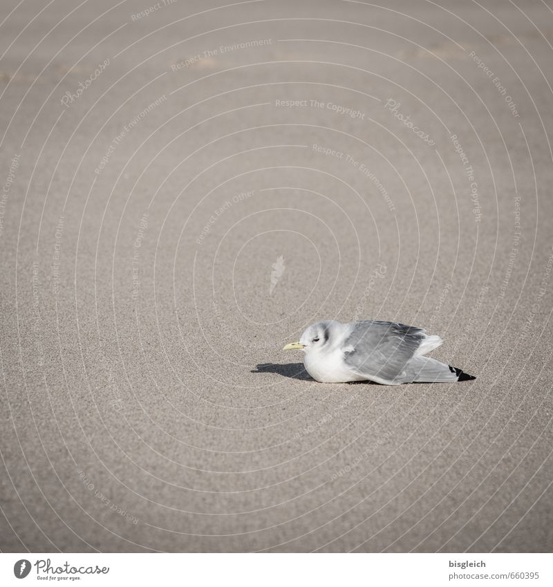 Sylt XVII Beach Animal Bird Seagull 1 Sand Sit Brown Gray White Relaxation Colour photo Subdued colour Exterior shot Deserted Copy Space left Copy Space top Day