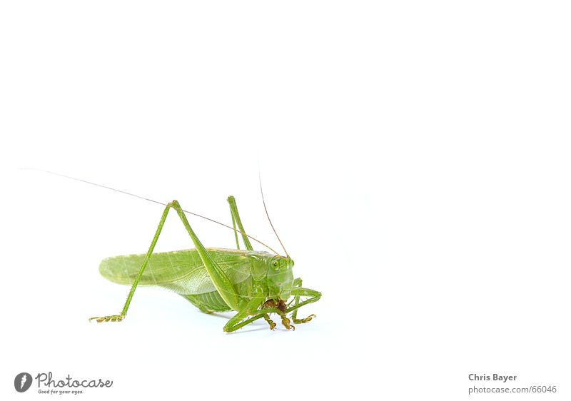 Nutrition Food Insect Hunting To feed Locust Dryland grasshopper Isopod Great green bushcricket Pill bug