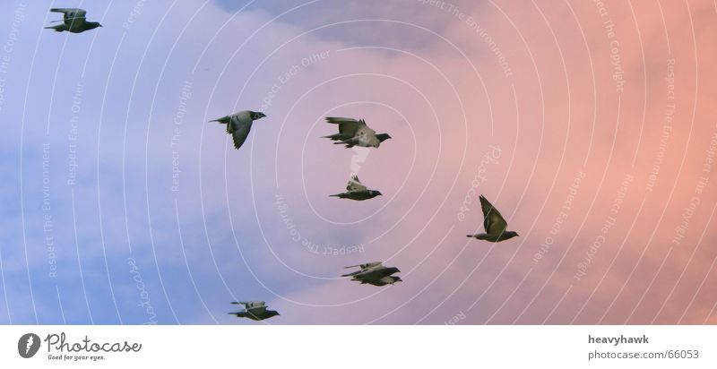 the fly into the sunset Bird Pigeon Aviation Flock Multiple Dusk Flying Sky