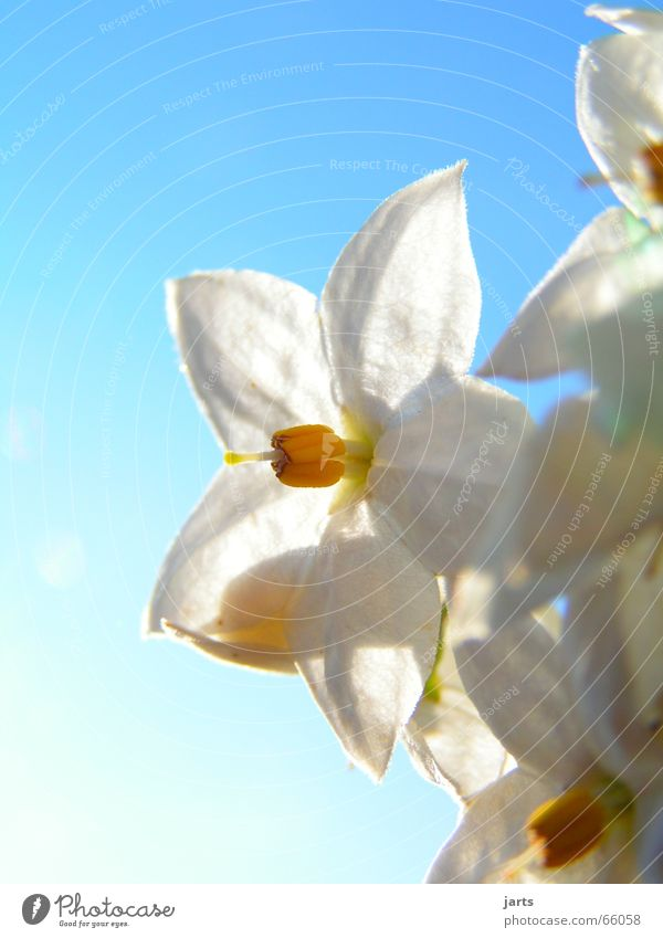 Nature Sky White Sun Flower Blue Blossom Star (Symbol)