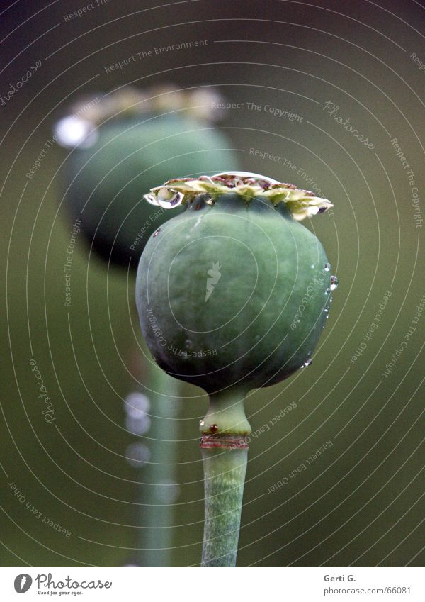 dos Poppy capsule 2 Fresh Green Delicate Stalk Plant poppy capsules again droplet Drops of water Water background blur Nature these weren't the last