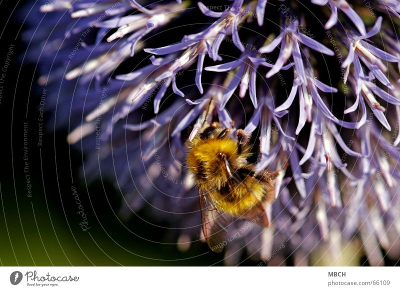 gathering Bumble bee Thistle Flower Collection Stamen Blossom Legs Feeler Pelt Pattern Yellow Black Violet Nectar Wing Eyes