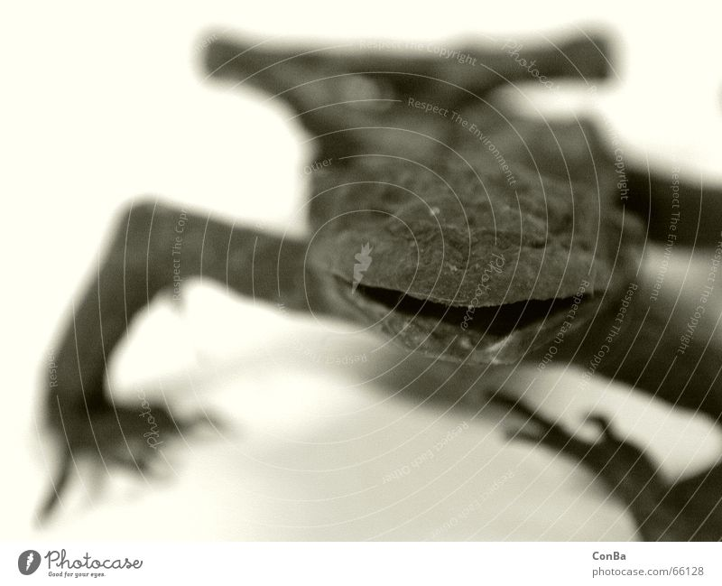 The frog after Canned Depth of field Animal Slimy Dry Frog Death mummy Close-up Contrast Amphibian Dried sephia