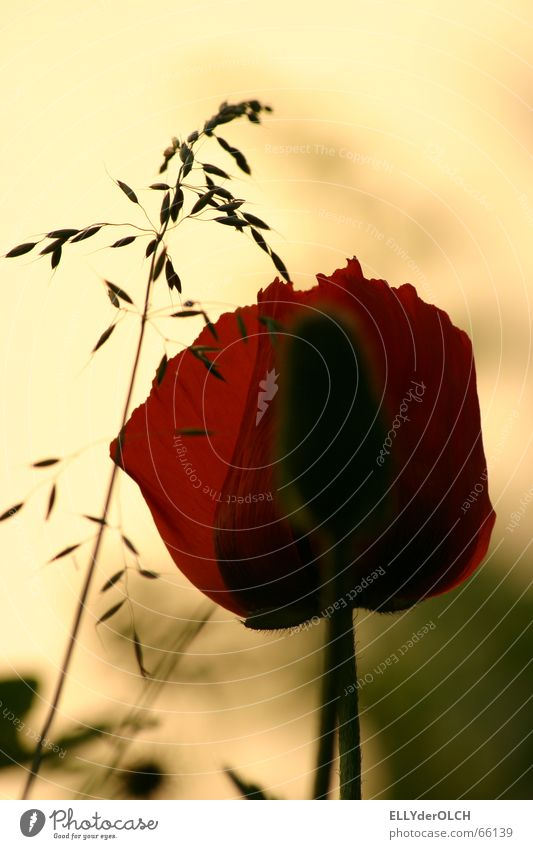 poppy seed light Poppy Grass Summer Blossom Red Yellow Vacation & Travel Relaxation Silhouette Physics Garden Warmth