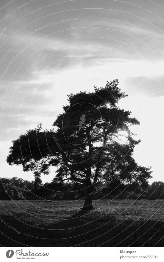 maverick Tree Heathland Clouds Outsider Loneliness Sky Black & white photo Sun hold