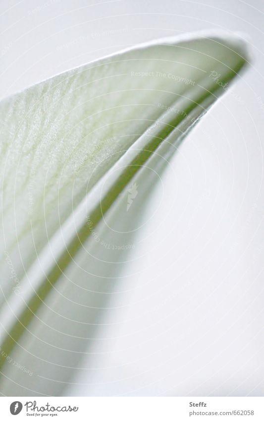 white tulip Tulip Tulip blossom white flower Romance Spring flower garden flower Spring colours Blossom Pastel tone romantic differently Fragrance white grey