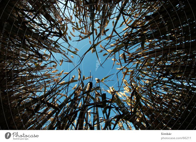 Corn of Wheat IIIIIIII Plant Nature Sky Horizontal Summer Physics field grain wheat plantlife farming agriculture argricultural natural barley blue cereal clear