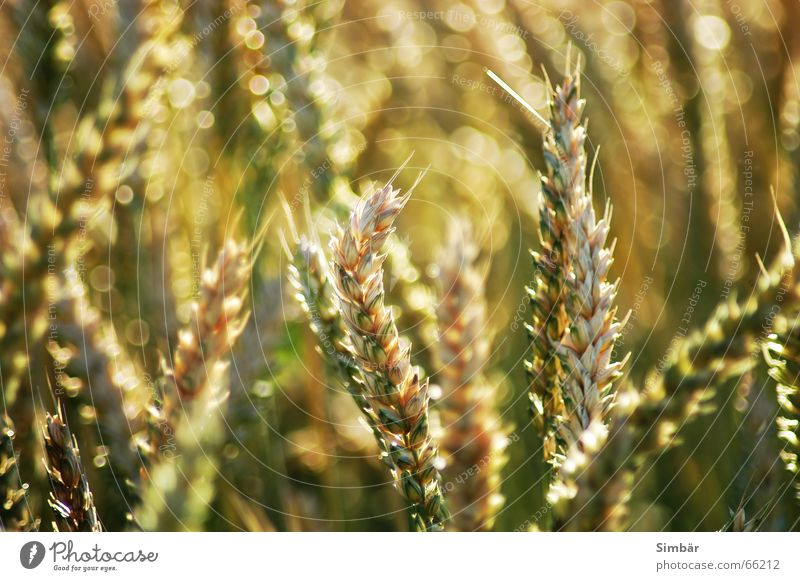 Corn of Wheat IIIIIIIII Plant Nature Summer Physics cereal grain wheat Detail plantlife field farming agriculture argricultural natural barley blue clear color