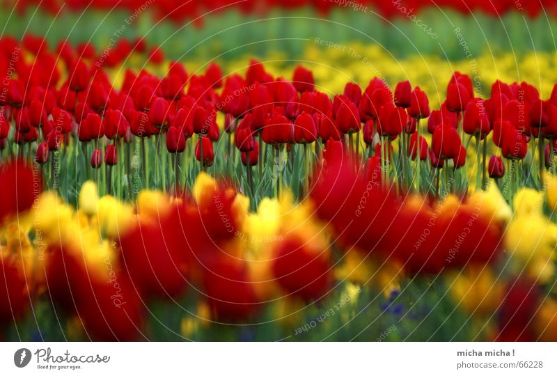 layered tulips Tulip Flower Blossom Spring Red Yellow Green Near Far-off places Blur Multicoloured Blossoming Blue
