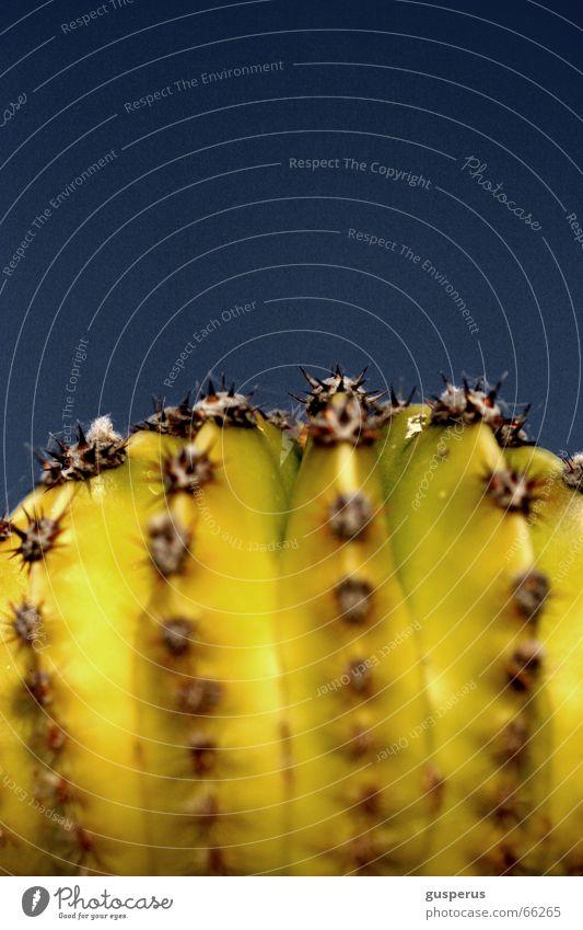 Blue Plant Botany Cactus Thorn Pierce Torun