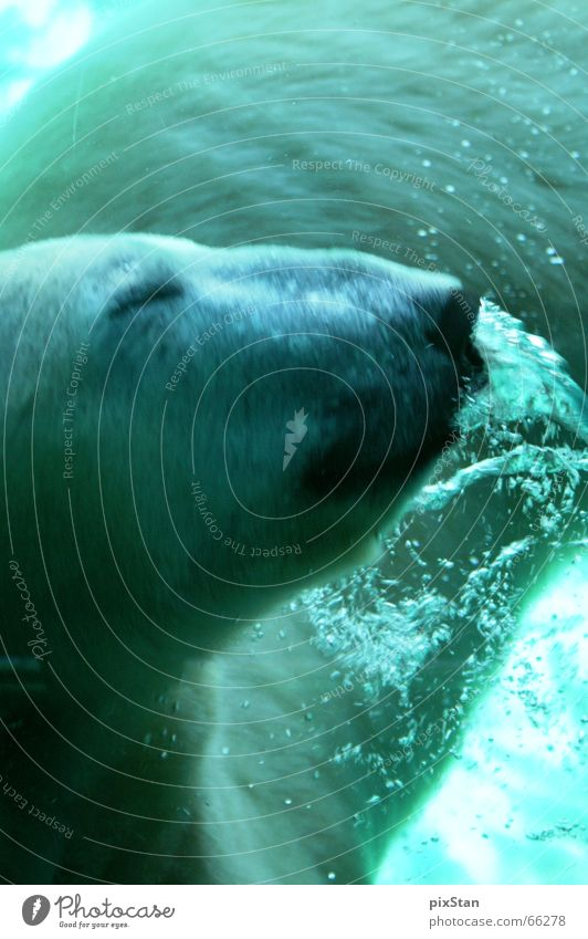 Water Blue Animal Movement Cool (slang) Underwater photo Air bubble Australia Bear Snout Polar Bear