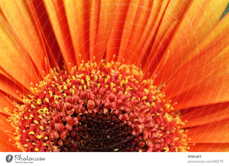 gerbera Flower Gerbera Color gradient Play of colours Interior shot gebera Macro (Extreme close-up) orange-yellow Detail Orange