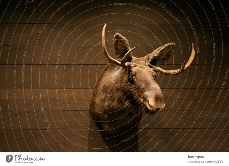 A moose is a moose is a moose is a moose is a moose Cup (trophy) Elk Antlers Wood Wall (building) Light Dark Animal Hunting Trophy Parquet floor Draft animal