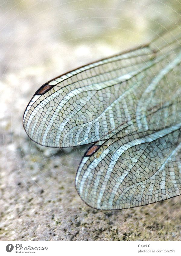 Animal Stone Force Wing Insect Delicate Strong Transparent Intoxication Vessel Fragile Checkered Sensitive Dragonfly Dragonfly wings
