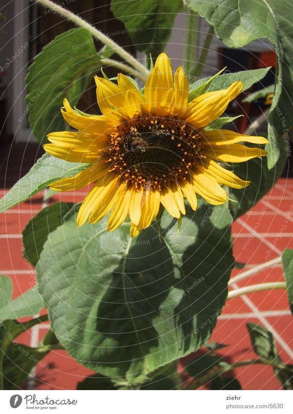 Flower Plant Blossom Bee Sunflower