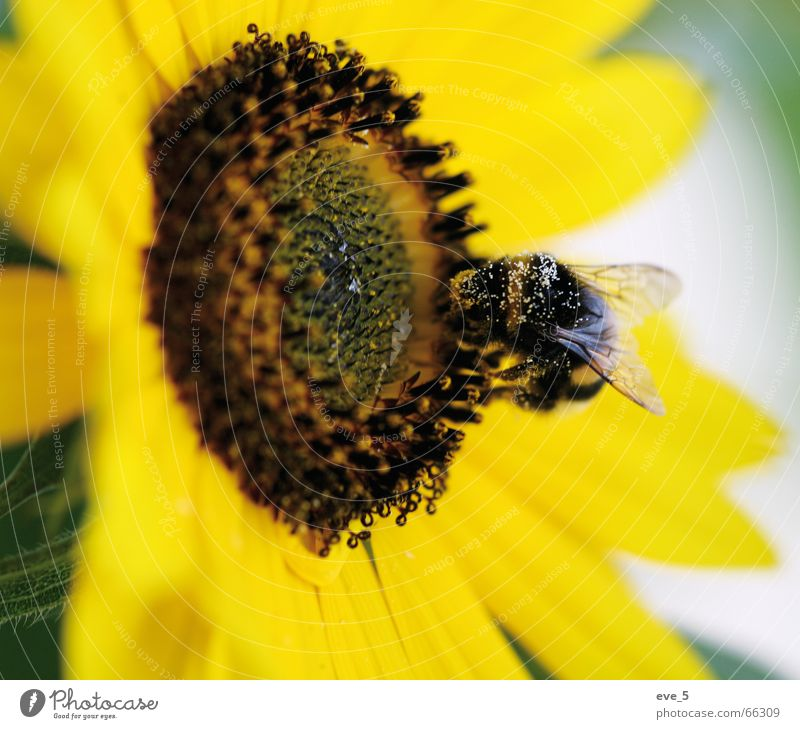 Summer Joy Yellow Freedom Speed Insect Easy Sunflower Artist Pollen Bumble bee
