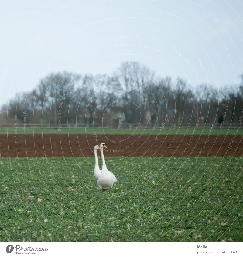 swan land Environment Nature Landscape Animal Field Wild animal Swan 2 Pair of animals Going Stand Natural In pairs Reduplication Colour photo Exterior shot