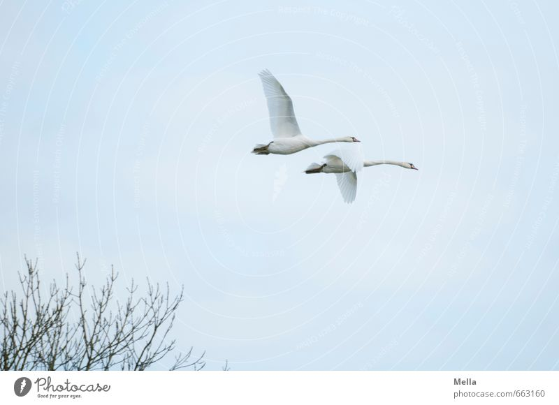 2 Environment Nature Animal Air Sky Branch Wild animal Swan Pair of animals Flying Free Together Natural Agreed Loyalty Freedom Friendship In pairs Colour photo