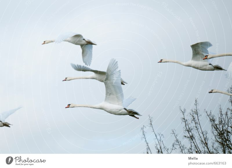 and away Environment Nature Animal Air Sky Branch Wild animal Swan Group of animals Flock Flying Free Together Natural Moody Movement Freedom Multiple Flee