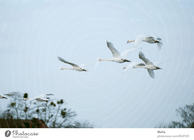 Nature Animal Environment Freedom Natural Moody Air Flying Bird Together Group of animals Branch Swan Flock Animal family
