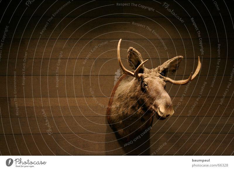 Stupid moose Cup (trophy) Elk Antlers Wood Wall (building) Light Dark Animal Hunting Trophy Parquet floor Draft animal Timber Wall (barrier) Bonus Mammal