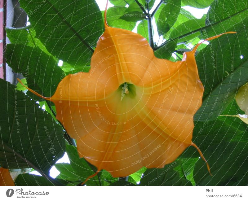 play the orange trumpet Plant Flower Blossom Indian bean tree Calyx Orange