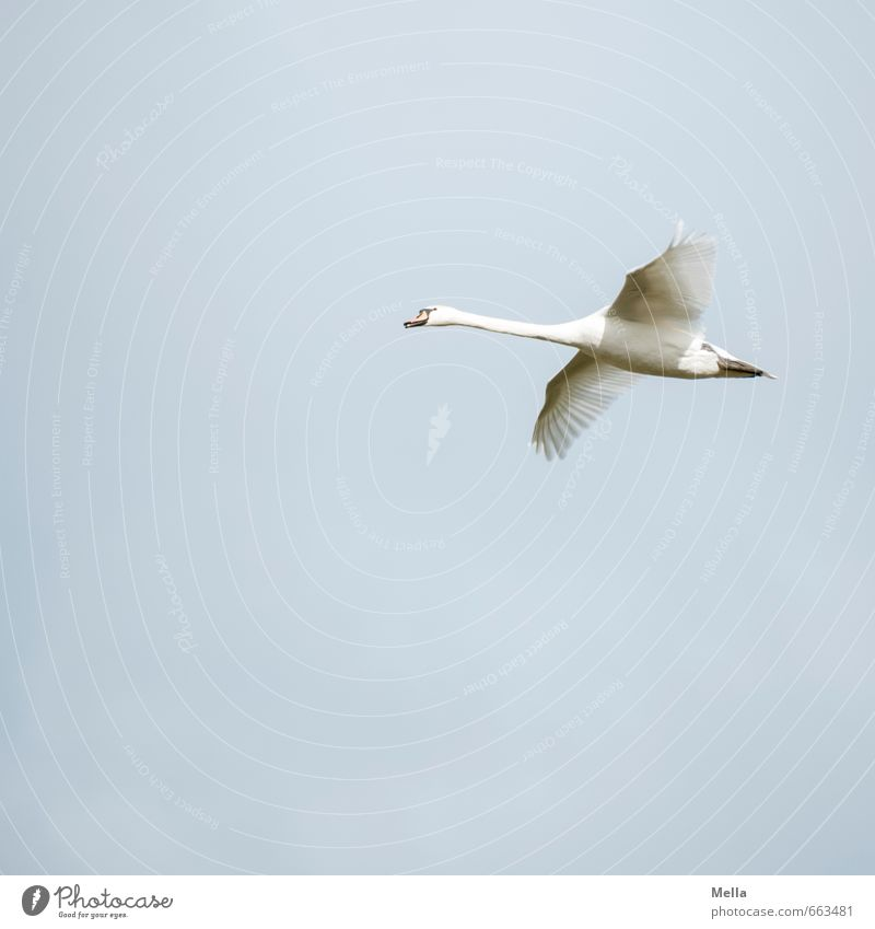 Now hurry up! Environment Nature Animal Air Sky Wild animal Bird Swan 1 Flying Free Natural Blue Moody Contentment Freedom Glide Hover Disperse Wing Neck