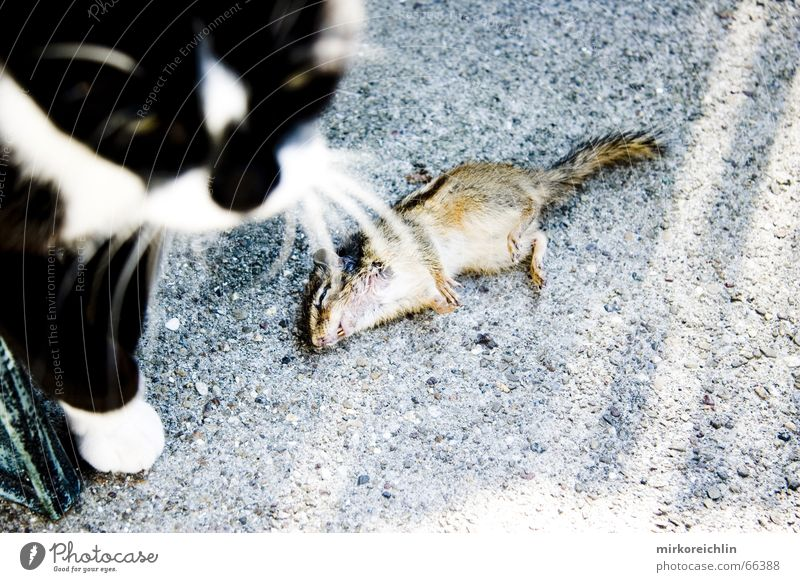Cat Animal Death Nutrition Stripe Appetite To feed Mouse Fight Paw Meal Squirrel Clear Attack Rat War
