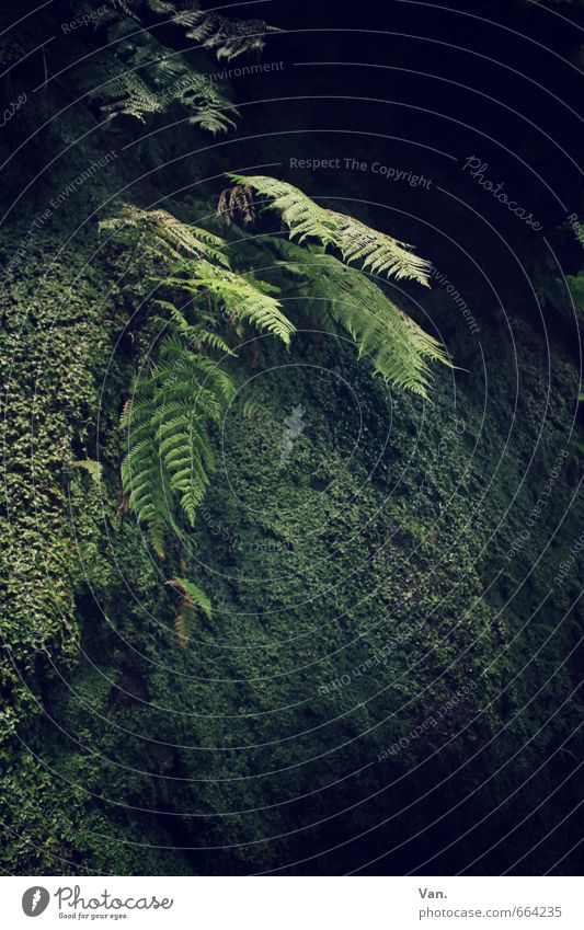 The light in the darkness Nature Plant Moss Fern Virgin forest Rock Green Dark Mystic Colour photo Subdued colour Exterior shot Deserted Day Light Shadow