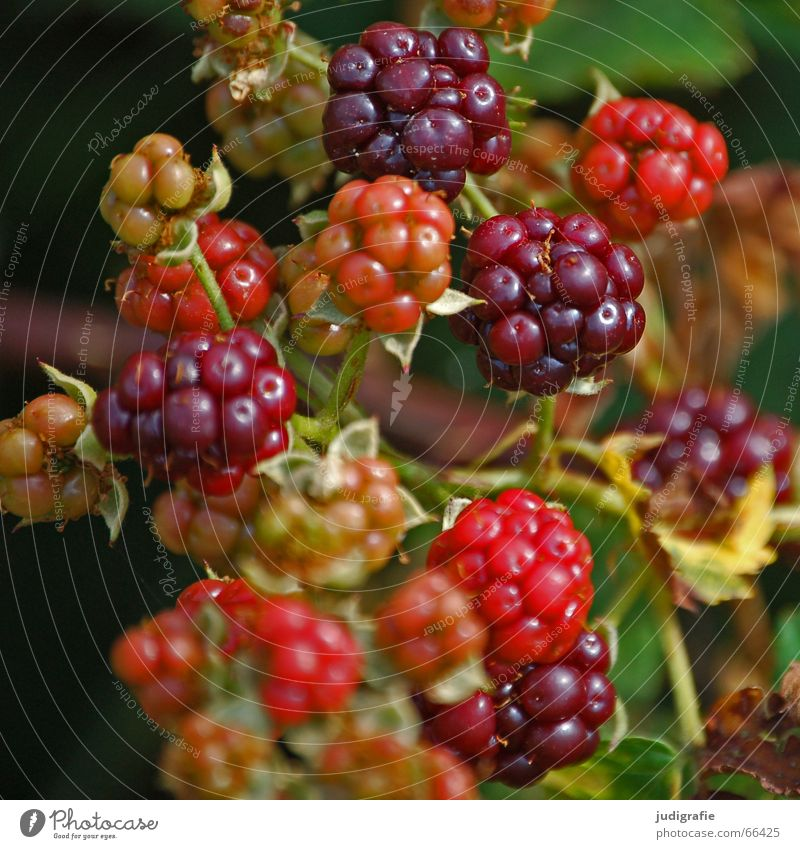 summer Red Immature Summer Bushes Delicious Creeper Rose plants Vitamin Thorny Blackberry rubus fruticosus agg. wild berry Berries Fruit forest and meadow