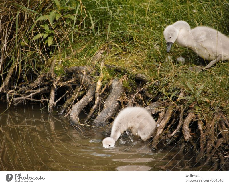 So what? Root Bushes Pond River bank Swan Baby animal young swans swan chicks 2 Animal Drinking Soft Fuzz Discover Colour photo Exterior shot